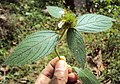 Leucas ciliata 03.JPG