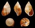 Leucotaenius favannii.jpg