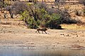 Lev u přehrady Nsemani Dam nedaleko kempu Satara, Krugerův park - panoramio.jpg
