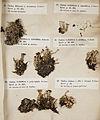 Lichenes Helvetici I II 1842 023.jpg