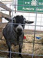 Lil goat (121696032).jpg