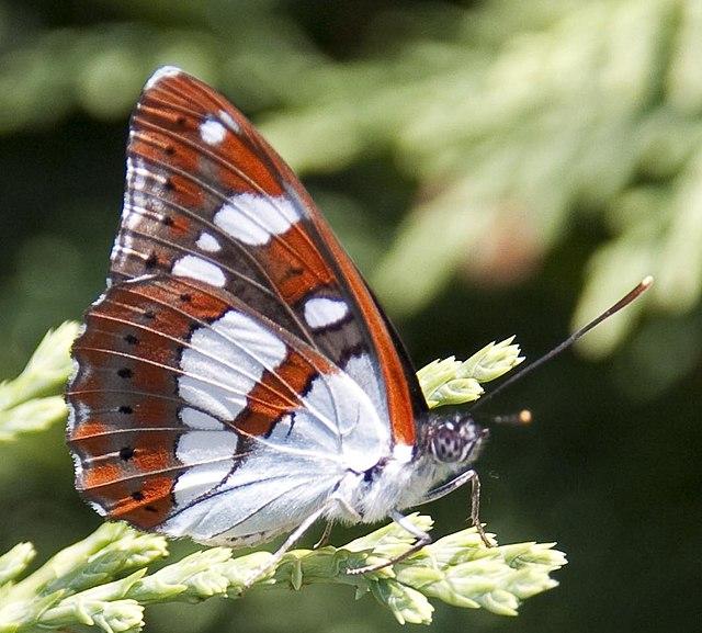 papillon lementis reducta sur un chèvrefeuille d'hiver