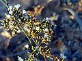 Limonium vulgare FlowersCloseup LagunadelaMata.jpg