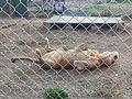 Lion in enclosure at the Conservators Center 1.jpg