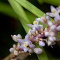 Liriope spicata - Fleurs.jpg