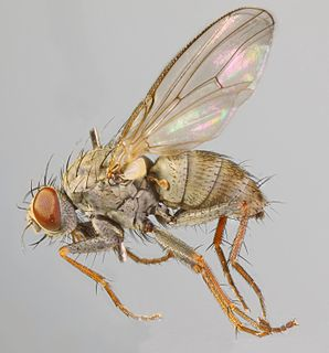 <i>Lispocephala erythrocera</i> species of insect