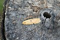 Lithosia quadra, Cupelin - img 18644.jpg