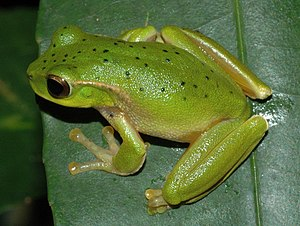 Leaf green tree frog - Image: Litoria barringtonensis
