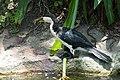 Little Pied Cormorant - Andrew Mercer - DSC02573.jpg