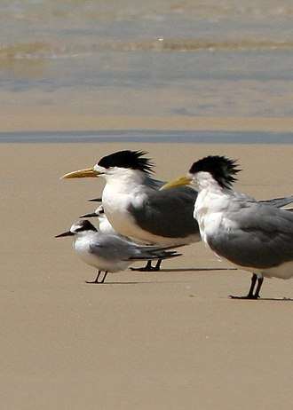 Little tern - Non-breeding plumage of S. a. sinensis with crested terns behind