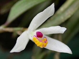 Loefgrenianthus - Image: Loefgrenianthus blancheamesiae