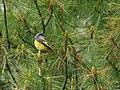Long-tailed Minivet (Pericrocotus ethologus) (29030873265).jpg