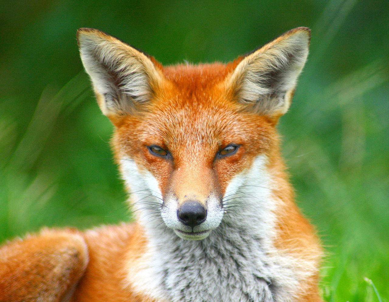 ficheirolooking foxy  wikipédia a enciclopédia livre