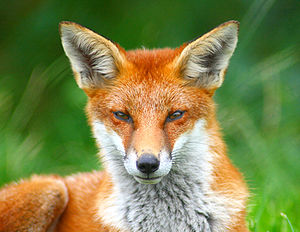 Red fox (Vulpes vulpes), Surrey, England, 2008