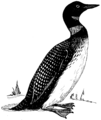 Loon (PSF).png