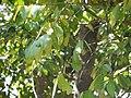 Lophopetalum wightianum Arn. (15582115713).jpg