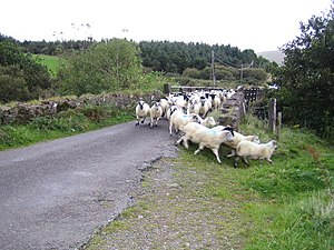 Lougher The errant leader of the sheep finds t...
