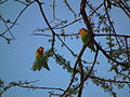 Lovebirds in Tanzania 3495 Nevit.jpg