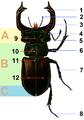Lucanus.cervus.male tagged.png