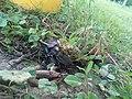 Lucanus cervus-Јеленак 03.jpg