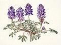 Lupinus minimus FAWalpole.jpg