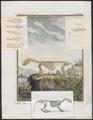 Lutra vulgaris - skelet - 1700-1880 - Print - Iconographia Zoologica - Special Collections University of Amsterdam - UBA01 IZ22500051.tif