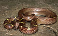 Lycodon aulicus (Common Wolf Snake ).jpg