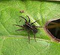 Lycosidae. Pirata sp. - Flickr - gailhampshire (1).jpg