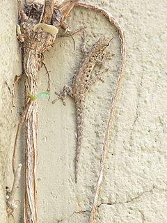 Stevensons dwarf gecko