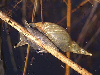 Vodniak vysoký (lat. Lymnaea stagnalis)