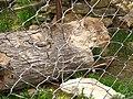 Lynx Cage (9110130549).jpg
