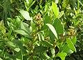 Lyonia lucida Florida.jpg
