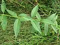 Lysimachia vulgaris Kiev1.JPG