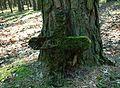 MOs810 WG 15 2016 (Pyzdry Forest II) (Anielewo, old ev. cemetery) (24).JPG