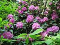 MOs810 WG 29 2017 Opolskie Zakamarki (in Arboretum Lipno) (Rhododendron catawbiense).jpg
