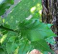 Maclura leaf.jpg