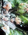 Maconellicoccus hirsutus from CSIRO.jpg