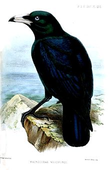 white billed crow wikipedia