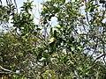 Madeira - Monte - Jardim Tropico (2093409656).jpg
