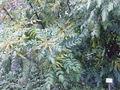 Mahonia bealei2.jpg