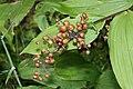 Maianthemum racemosum 9483.JPG