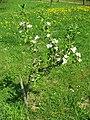 Malá jabloň.jpg