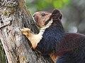 Malabar Giant Squirrel DSCN0193.jpg