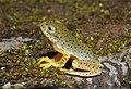Malabar Gliding Frog Rhacophorus malabaricus Juvenile by Dr. Raju Kasambe DSCN0188 (17).jpg