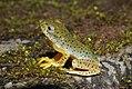 Malabar Gliding Frog Rhacophorus malabaricus Juvenile by Dr. Raju Kasambe DSCN0188 (18).jpg