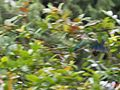 Malabar Parakeet in the rain (28889034692).jpg