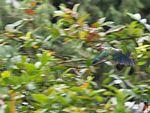 Malabar Parakeet in the rain (28889034692).jpg