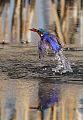 Malachite Kingfisher, Alcedo cristata at Marievale Nature Reserve, Gauteng, South Africa (14421942296).jpg