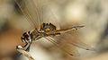 Male Common Glider shoulder (17276053605).jpg