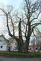 Malonice, památný strom.jpg